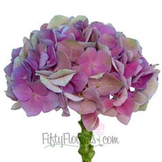 FiftyFlowers.com - Antique Dutch Hydrangea Purple Pink Flower 40@$259, 20@ $149