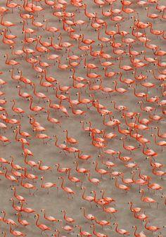 Photograph by Klaus Nigge Flamingos, near Sisal, Mexico,...