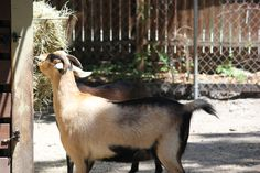 Come hang out and enjoy enteracting with the animals at Sarasota Jungle Garden's Petting Zoo! Sarasota Jungle Gardens, Petting Zoo, Zoo Animals, Adventure Awaits, Adorable Animals, Hanging Out, Old Things