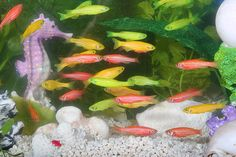 """Danios are native to the fresh water rivers and streams of Southeast Asia.  The name """"danio"""" comes from the Bengali meaning """"of the rice field"""" they are brightly colored, and are available as aquarium fish worldwide. (read more)..."""