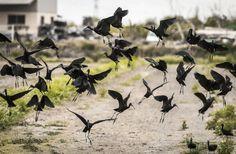 2018 - Albufera (País Valencià) - Hasta hace pocos años una especie poco frecuente en l´Albufera; el morito común, es hoy en día una de las aves acuáticas invernantes más abundante en el parque natural, especialmente en enero y febrero aprovechando los trabajos de mangueo del arrozal.
