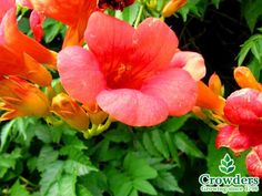 Campsis radicans or Common Trumpet Creeper Climber 2-3L Common Trumpet Creeper. Vigorous climber with dark green leaves and attractive, pendant, tubular-funnel-shaped, dark orange to red flowers. Max Height 10m. Flowers August to September. Full sun. Frost hardy. Water thoroughly before planting.