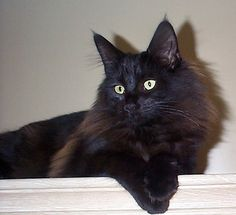 I sure miss you Mr. Nuances Black Norwegian Forest Cat