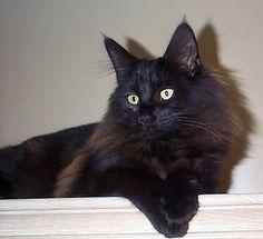 Black Norwegian Forest Cat | Norgeskaukatt Kollfina