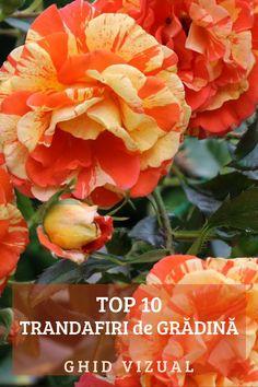 Infuzie de trandafiri pentru varice