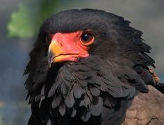 More info @; www.sa-venues.com/wildlife/birds_bateleur.htm