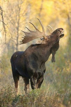 "Elk / Moose / Elch / Alce / Élan ""When I'm calling you-oooo; will you answer tooo. Moose Deer, Moose Hunting, Bull Moose, Pheasant Hunting, Turkey Hunting, Archery Hunting, Moose Antlers, Hunting Stuff, Nature Animals"