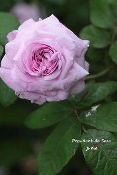 ~Rosa 'Président de Sèze' (France, 1828)