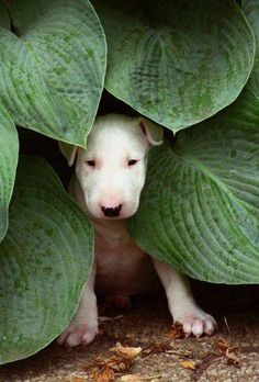•♥•✿ڿڰۣ(̆̃̃•Aussiegirl #Adorable Bull Terrier
