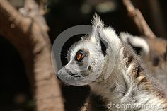 Cute ring-tailed lemurs on dark background