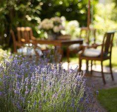 Lavendel vertreibt auch Mücken