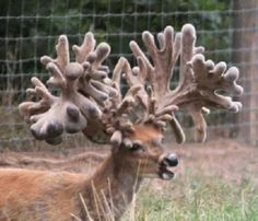 Largest Whitetail Buck in History | The Buck Known as Free Agent becomes the Largest Ever at 500 Plus ...