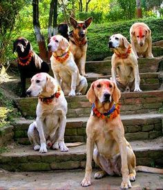 Kukar-Tihar, the second day of Tihar in Nepal. On this day dogs are worshiped and praised for their loyalty, companionship and faithfulness.