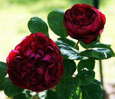 rouge royale hybrid tea rose