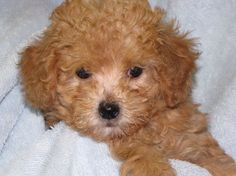 Sweet Apricot Poodle Puppy