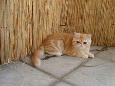 Red Tabby Exotic Shorthair Kitten