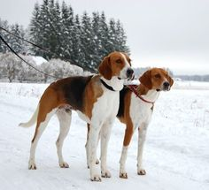 American Foxhound 05