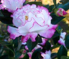 October Magic® Inspiration Sasanqua Camellia