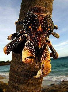 le crabe de cocotier (Birgus latro), le plus grand arthropode du monde