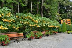 Brugmansia blooming at The Butchart Gardens. #brugmansia #butchartgardens #explorevictoria
