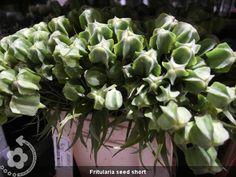 Fritularia+seed+short (600×450)