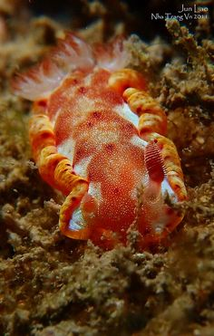 juvenile spanish dancer with a single rhinophore