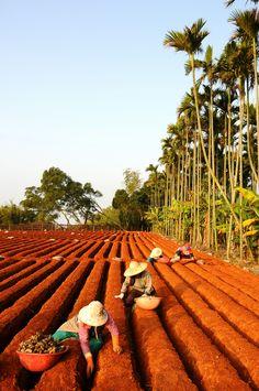 Ginger Plantation - Nantou, Taiwan 台灣 南投 Where they harvest all the gingers! Brunei, Beautiful Islands, Beautiful World, Beautiful Places, Laos, Taiwan Travel, Asia Travel, Beach Travel, Sri Lanka