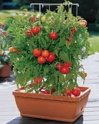 For tomato plants, get good first-time growers' varieties including Better Boy, Creole, Big Boy, Early Girl, Brandywine, Celebrity, Lemon Boy, or just about any cherry or grape tomato variety.  Plant several varieties rather than all of one type; this ensures a steady harvest.  Choose a sunny spot to place the plants to transplant them.