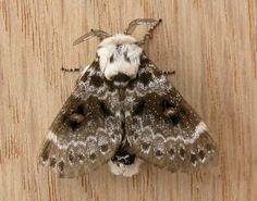 Class:Insecta Order:Lepidoptera Family:Lasiocampidae Genus:Genduara Species:punctigera Common Name:Crexa Moth