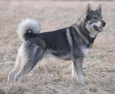 The Swedish Elkhound is probably the first dog to appear by man's side in the Stone Age The Jämthund, also called the Swedish Elkhound/Moosehound, is a breed of dog of the Spitz type that are found