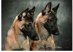 Meet the Breed: The Belgian Malinois at BaxterBoo
