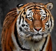 Amur Tiger; Intense by Klaus Wiese on 500px