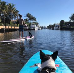 Create Your Own Adventure, Paddle Boarding, Boston Terrier, Surfing, Boards, Dogs, Animals, Planks, Boston Terriers