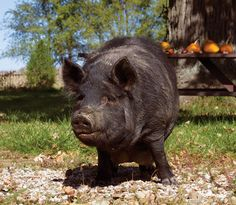 A heritage hog breed, the American Guinea hog may be the best pig for your small homestead.