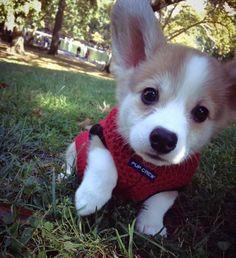 Suddenly....a corgi pup!