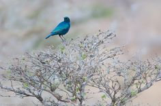 Southern Blue-eared starling - Selous game reserve - Tanzania by frederic.salein, via Flickr