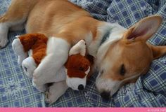 Pembroke Welsh Corgi - Alert and Affectionate Cute Corgi, Cute Puppies, Dogs And Puppies, Corgi Names, Puppy Names, Welsh Corgi Puppies, Pembroke Welsh Corgi, Cute Dogs Breeds, Dog Breeds
