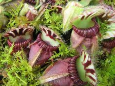 Carnivorous Plants: Insect Eating Plants