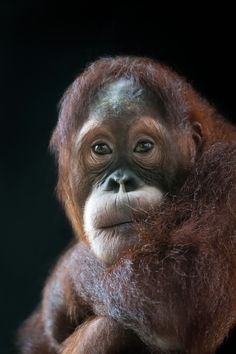 "500px / Photo ""Orangutan"" by Justin Lo"