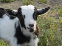 Laughing Duck Farm: Super-duper,Extra Special Baby Goat! He has a black heart on his nose!
