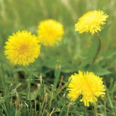 If you have weeds growing in your lawn or in your flower beds, this guide is for you. Learn how to kill weeds with mulch and with various weeding tools that work well. We'll also show you common weed plants you'll want to eliminate.