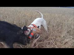 Pig hunting with dogs Australia 2017 - YouTube