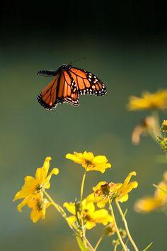 Monarch in Flight by Elizabeth Nicodemus