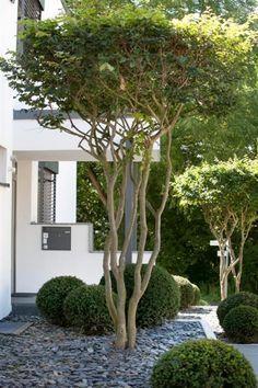 Toller Baum für den Vorgarten. Die Schirmform der Baumkrone sollte definitiv in der Gartengestaltung in Betracht gezogen werden!