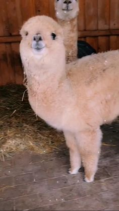 Cute Wild Animals, Cute Little Animals, Happy Animals, Animals Beautiful, Animals And Pets, Funny Cute Cats, Cute Funny Animals, Alpacas, Cute Alpaca