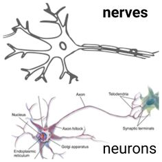 Difference between Nerve and Neuron .Nerves vs neurons    Unlike plants and trees the animals have built special systems to respond to the stimuli of the outer environment and make changes inside the body. The very important and immediate changes are carried