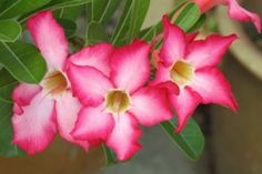 Desert Rose (Adenium obesum) Plant care tipsWatering tip: This flowering succulent stores water in its swollen base, so it doesn't need watered often. Take care to water the potting medium only. Don't get water on the base of the plant because it will rot and may not recover.