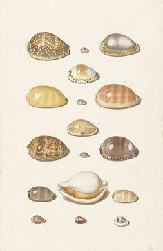 Zeventien grote en kleine tropische kaurie schelpen, Johann Gustav Hoch, 1726 - 1779