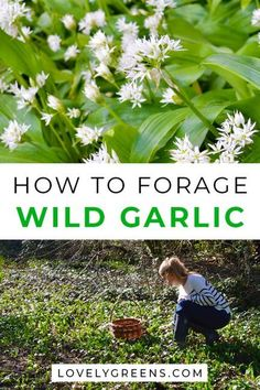 How to find pick and use wild garlic also called ramps or ramsons. Includes foraging tips and recipe ideas Healing Herbs, Medicinal Plants, Edible Wild Plants, Wild Edibles, Survival Food, Edible Garden, Kraut, Gardening, Just In Case