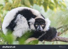 The Black-And-White Ruffed Lemur (Vari, Varecia Variegata). Стоковые фотографии 367573772 : Shutterstock